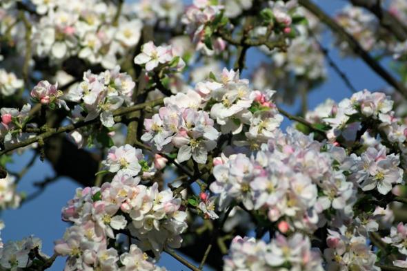 Blossom7