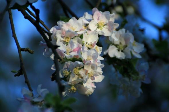 Blossom9a