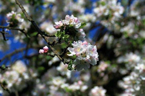 Blossom9c